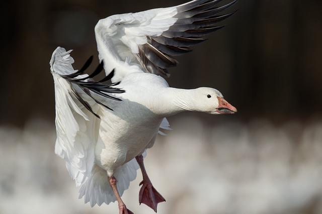 snow-goose-