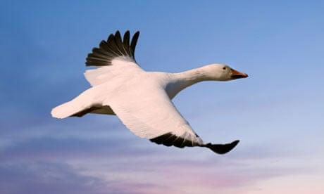 snow-goose-007
