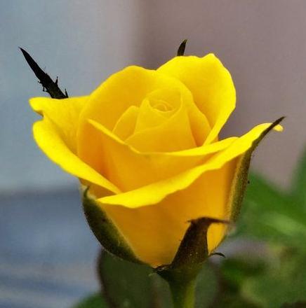 yellowrosebud
