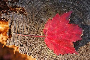 Maple_Leaf_Red_Stump_3008px