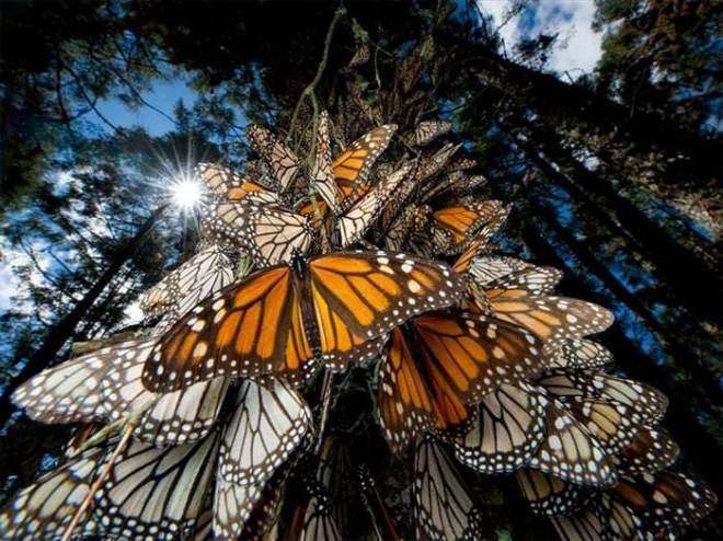 monarchmigration